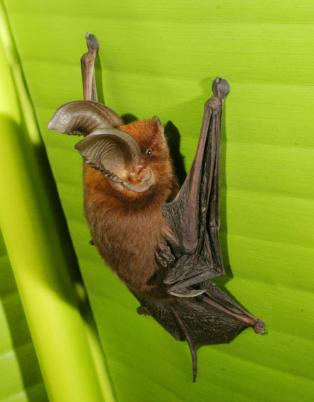 Sucker-footed bat (M. aurita) on leaf