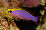 blue_Pictichromis2.jpg